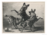 Three Jackals Playing Together Reproduction procédé giclée par Beckman