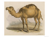 Camel with the Pyramids and Sphinx in the Background Giclee Print by Brittan 