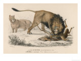 Lions Kill a Deer Giclee Print by Paul Fournier
