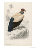 King Vulture Giclee Print by Paul Fournier