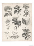 Varieties of the Cinchona Species Giclée-Druck von  Barlow
