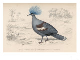 Crowned Pidgeon Giclee Print by Paul Fournier