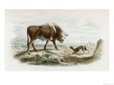 Bull Stares at a Barking Dog Giclee Print by  Beyer