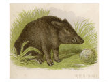Wild Boar Seated in the Undergrowth Giclee Print by  Brittan