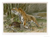 Tiger and Its Freshly Killed Prey a Deer in This Case Giclee Print by Wilhelm Kuhnert