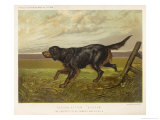 Gordon Setter in the Field with Its Classic Black and Tan Colouring Giclee Print by Langham David