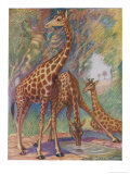 Three Giraffes Giclee Print by Louis A. Sargent