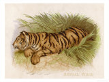 Bengal Tiger Resting Giclee Print by  Brittan