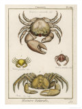 Gecarcinus Anisochele and Other Crabs Giclee Print by  Benard