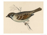 Tree Sparrow Giclee Print by Reverend Francis O. Morris