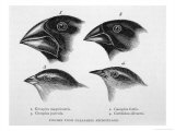 Finches from the Galapagos Islands Observed by Darwin Premium Giclee Print by R.t. Pritchett
