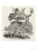 The Stag or Red-Deer (Cervus Elephas) This is the Most Beautiful Animal of the Deer Kind Giclee Print by Thomas Bewick