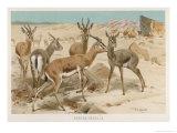 Dorcas Gazelles Giclee Print by Wilhelm Kuhnert