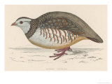 Barbary Partridge Giclee Print by Reverend Francis O. Morris