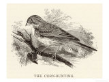 Corn Bunting also Known as the Bunting Lark Giclee Print by Howard Saunders