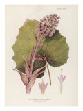 Butterbur Giclee Print by C.f. Newall