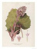 Butterbur Giclee Print by C.f. Newall