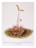 Round-Leaved Sun-Dew on Sphagnum Moss Giclee Print by C.f. Newall