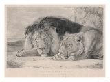 Sleeping Lion and Lioness Giclée-Druck von F. Lewis