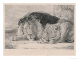 Sleeping Lion and Lioness Giclee Print by F. Lewis