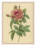 Pink Rose Giclee Print by Pierre-Joseph Redouté