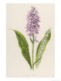 Spotted Orchis Giclee Print by F. Edward Hulme