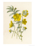 Silverweed Giclee Print by F. Edward Hulme