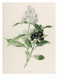 Privet Giclee Print by F. Edward Hulme