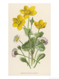 Marsh Marigold Depicted with Bellis Perennis, Common Daisy Premium Giclee Print by F. Edward Hulme