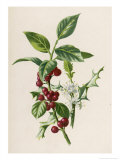 Holly Giclee Print by F. Edward Hulme