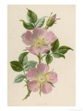 Pink Dog-Rose Giclee Print by F. Edward Hulme