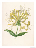Honeysuckle Giclee Print by F. Edward Hulme
