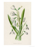 Snowdrop Depicted with Leucajum Aestivum: Snowflake Giclee Print by F. Edward Hulme