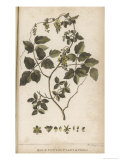 Male Cotton Plant Found in Chile Giclee Print by P. Mazell