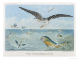 An Albatross at Sea Preying on Flying Fish Giclee Print by P. Lackerbauer