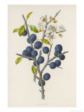 Blackthorn Giclee Print by F. Edward Hulme