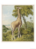 Giraffe Uses Its Dextrous Tongue to Pick off the Leaves from a Very Tall Tree Giclee Print by Joseph Kronheim