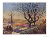 Tulip-Fields Near Haarlem in Springtime Giclee Print by Nico Jungman