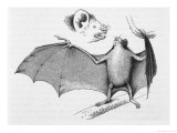 Vampire Bat (Desmodus d'Orbignyi) Caught at the Back of Darwin's House in Chile South America Giclee Print by R.t. Pritchett