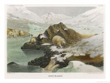 Group of Polar Bears in an Icy Landscape Giclée-tryk af P. Lackerbauer