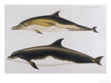 Two Varieties of Dolphin: Delphinus Delphis (Top) Delphinus Tursio Giclee Print by J. Smit