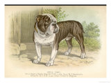 Solid and Powerful Looking Bulldog Giclee Print by A.f. Lydon