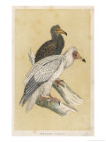 Egyptian Vulture Giclee Print by Reverend Francis O. Morris