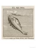 Piscis Notius Giclee Print by Gaius Julius Hyginus