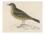 Rock Pipit Giclee Print by Reverend Francis O. Morris