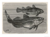 Gadus Morrhua Two Cod, One Young and One Adult Giclee Print by P. J. Smit