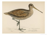 Sabine's Snipe Giclee Print by Reverend Francis O. Morris