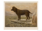An Irish Water Spaniel in the Field Giclee Print by R.s. Moseley