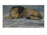 Subdued Lion Stretches out on the Ground Giclee Print by John Macallan