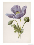 An Opium Poppy Giclee Print by F. Edward Hulme